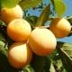 Слива «Светлячок»: характеристика сорта и выращивание
