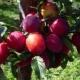 Сливово-вишневые гибриды: особенности, сортовой ассортимент и секреты выращивания