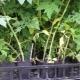 Сохнут листья у рассады помидоров: почему это происходит и как бороться?