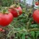 Томат «Агата»: достоинства и недостатки, правила выращивания