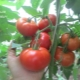 Томат «Алеша Попович»: описание сорта и правила выращивания