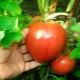 Томат «Алсу»: описание сорта и правила выращивания