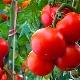 Томат «Андромеда»: особенности, разновидности и тонкости выращивания