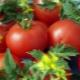 Томат «Анюта F1»: характеристика и урожайность сорта