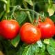 Томат «Белый налив»: описание сорта и правила выращивания