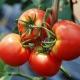 Томат «Дар Заволжья»: описание сорта и советы по выращиванию