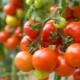 Томат «Денежный мешок»: описание сорта и тонкости выращивания