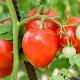 Томат «Лентяйка»: особенности и правила выращивания