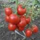 Томат «Лев Толстой F1»: описание сорта и правила выращивания