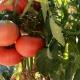 Томат «Микадо»: характеристика и разновидности сорта