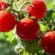 Томат «Пиноккио»: характеристика сорта и процесс выращивания