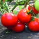 Томаты «Большая мамочка»: описание сорта и тонкости выращивания