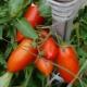 Томаты «Кенигсберг»: описание сорта и тонкости выращивания