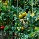 Тонкости и важные нюансы пасынкования помидоров
