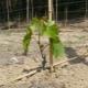 Тонкости процесса посадки винограда саженцами весной