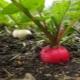 Тонкости процесса выращивания редиса