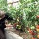 Тонкости выращивания томатов «Утренняя роса»