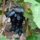 Виноград «Академик»: особенности сорта и выращивание