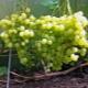 Виноград «Алёшенькин дар»: характеристика и агротехника сорта