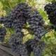 Виноград «Кодрянка»: описание и выращивание