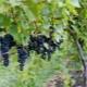 Виноград «Маркетт»: особенности сорта и выращивание
