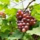 Виноград «Минский розовый»: характеристика сорта и уход