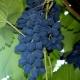 Виноград «Молдова»: правила посадки и ухода