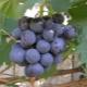 Виноград «Муромец»: характеристика сорта и выращивание