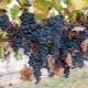 Виноград «Страшенский»: описание сорта и его особенностей
