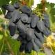 Виноград «Викинг»: характеристика сорта и выращивание