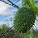 Бешеный огурец: особенности и применение необычного растения