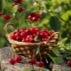 Черешня – это ягода или фрукт, виды и описание популярных сортов