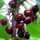 Черешня «Мелитопольская»: характеристика сорта и секреты выращивания