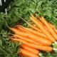 Через сколько дней всходит морковь?