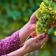 Что можно сажать рядом с виноградом?