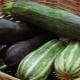 Что такое цукини, чем они отличаются от кабачков? Свойства и выращивание