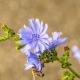 Цикорий: особенности и свойства растения