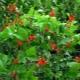 Декоративная фасоль: сорта и выращивание