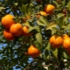 Где растут апельсины?