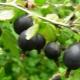 Гибрид смородины и крыжовника: характеристика и выращивание
