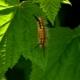 Гусеницы на смородине: почему появились и как избавиться?