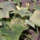 Как бороться с паутинным клещом на огурцах?