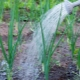 Как часто нужно поливать лук?
