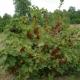 Как и чем правильно подвязать кусты смородины?