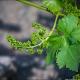Как и когда цветет виноград?