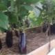Как и сколько раз в неделю нужно поливать баклажаны в открытом грунте?