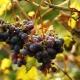 Как использовать фунгицид «Кабрио Топ» для винограда?
