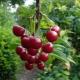 Как посадить и вырастить черешню?