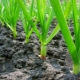 Как посадить и вырастить чеснок?
