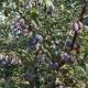 Как посадить и вырастить здоровую и высокоурожайную сливу?